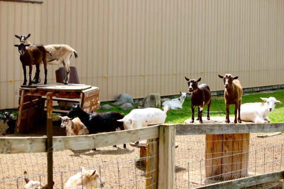 We didn't find the obese black cat, but a bunch of goats found us.